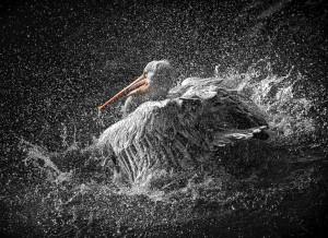 pelikan©peter jung